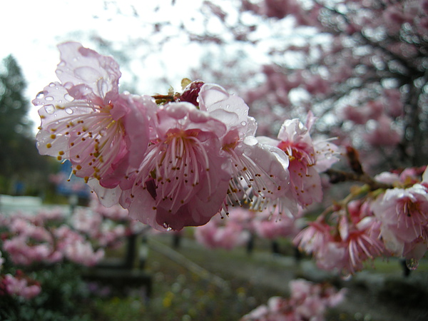 DSCN9664花朵別哭泣荳幫妳撐傘.JPG
