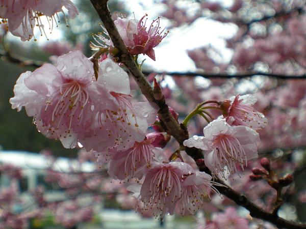 DSCN9663又是一張被雨淋濕的櫻花.JPG