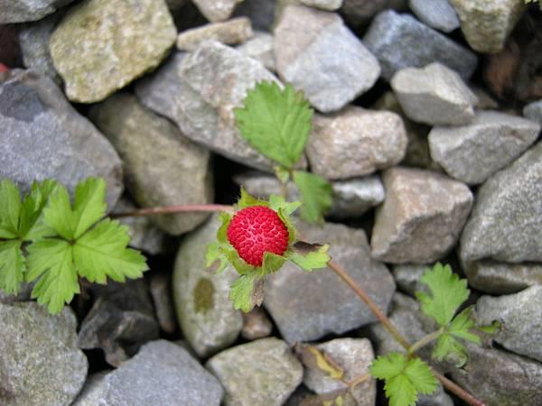 DSCN9515-無意間發現的野莓.JPG