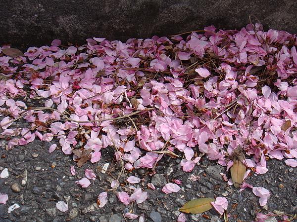 DSC09174掉落滿地的花瓣.JPG