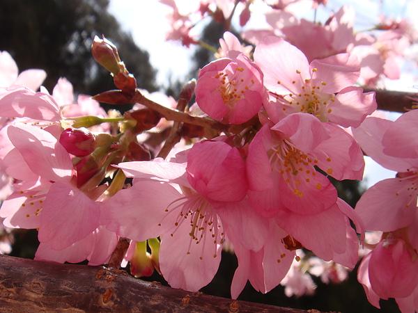 DSC09187陽光下的櫻花.JPG