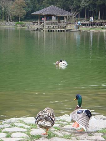 DSC09542-池邊悠游自在的綠頭鴨.JPG