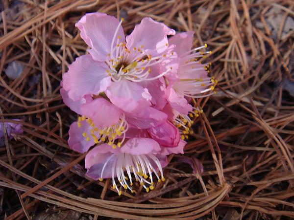 五葉松上的櫻花.JPG