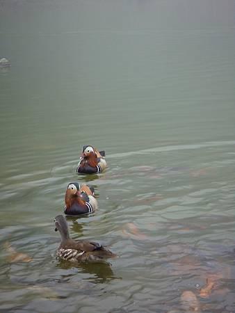 DSC09645-明池有二對鴛鴦,但不知為何有隻母鴛鴦較不喜歡游在一起,是在生悶氣嗎,嘿嘿.JPG