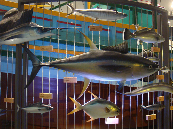 DSC08184各式各頪的魚標本(p.s不能觸摸).JPG