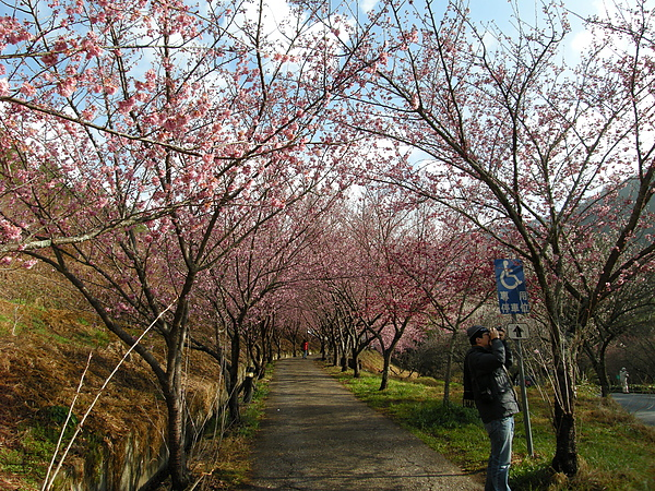 DSCN9776來到去年最美的地方之一,茶葉妹取名為[櫻花木道].JPG