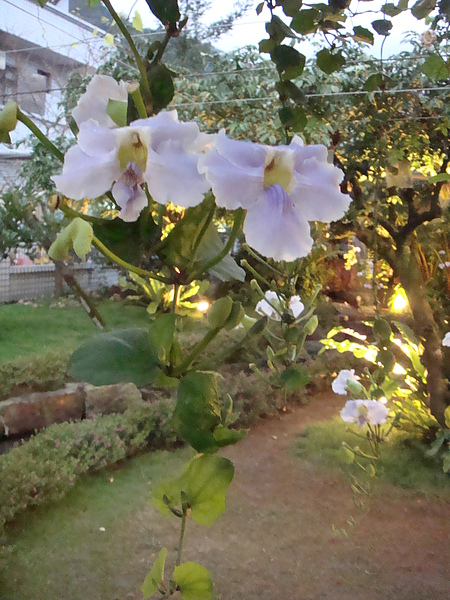 DSC08221餐廳週圍種滿了楊桃樹及這不知名的紫花.JPG