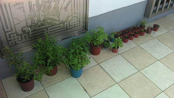 香草小花園-剛起步