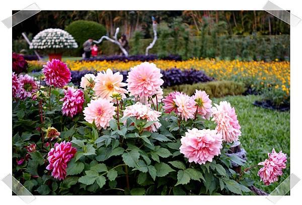 粉色菊花.jpg