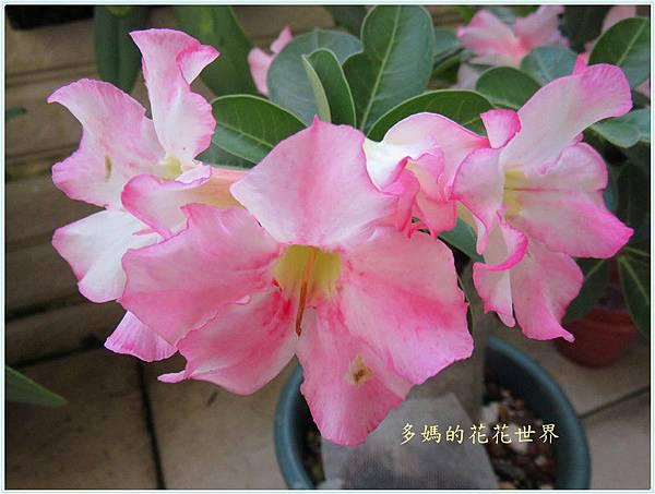 沙漠玫瑰11.jpg
