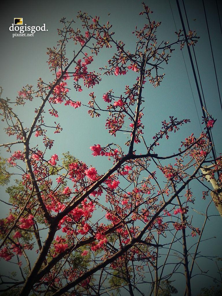 cherryblossum03.jpg