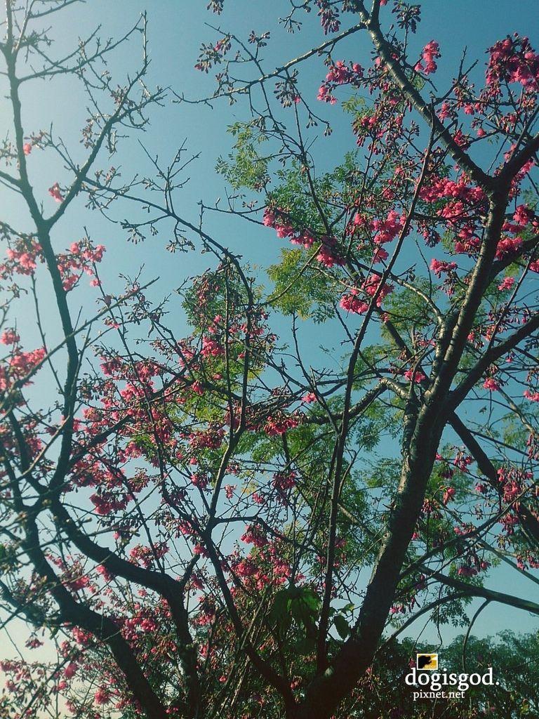 cherryblossum04.jpg