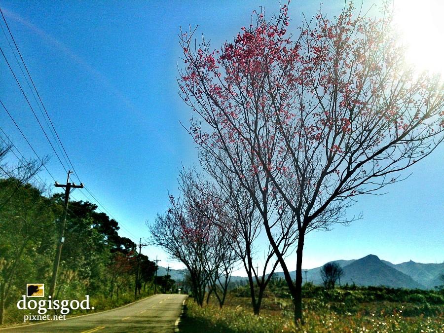 cherryblossum08.jpg