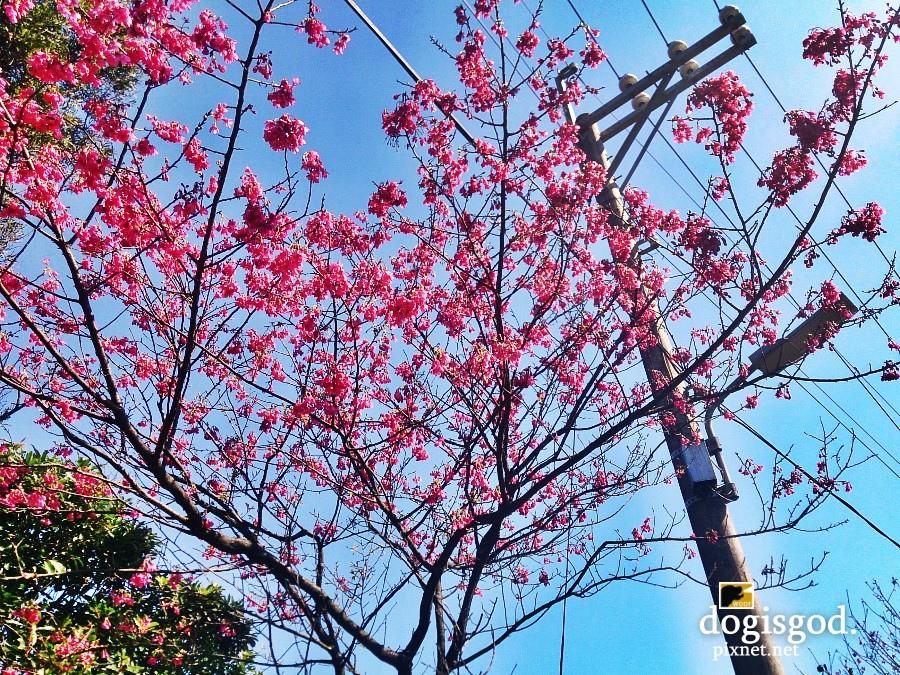 cherryblossum09.jpg
