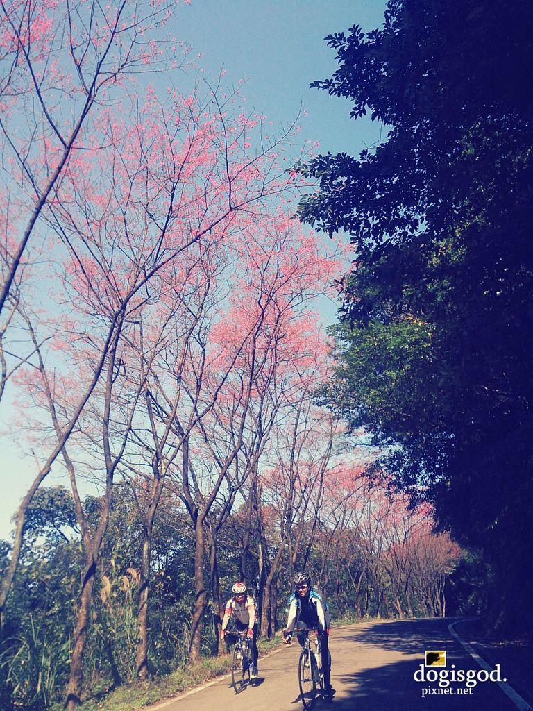 cherryblossum10.jpg