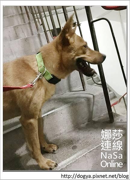 娜莎連線手工寵物零食舖-浪狗小黃送養認養領養03.jpg