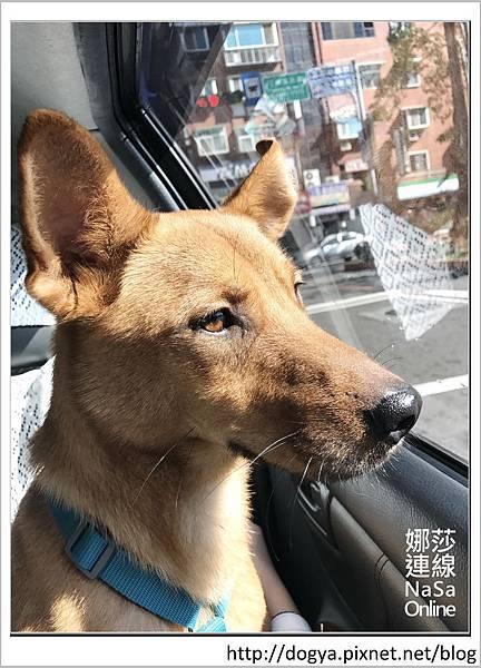 娜莎連線手工寵物零食舖-浪狗小黃送養認養領養23.jpg