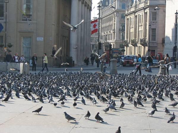 鴿子多到爆