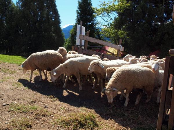 萬羊奔騰!!!
