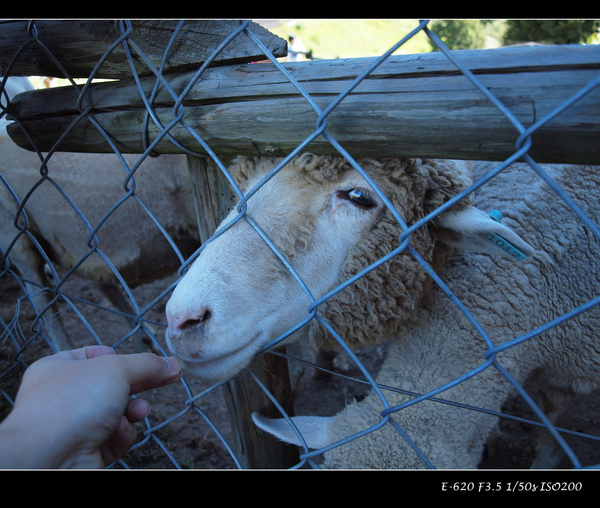 貪吃的羊咩