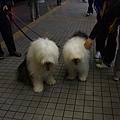 散步的大狗狗