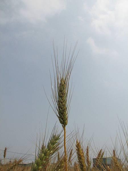 wheat 005