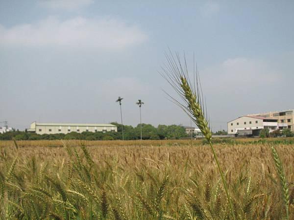 wheat 016