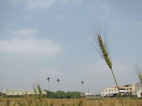 wheat 017