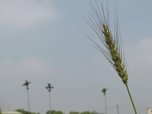 wheat 018