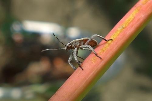 DSC09545.jpg黃斑椿象(若蟲)