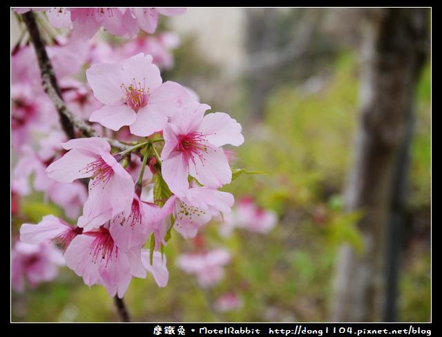 桃園。拉拉山。恩愛農場。三月賞櫻花