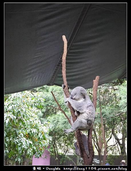 雪梨遊記。KOALA PARK。無尾熊保護區