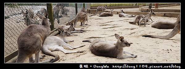 雪梨遊記。KOALA PARK看袋鼠。剪羊毛秀