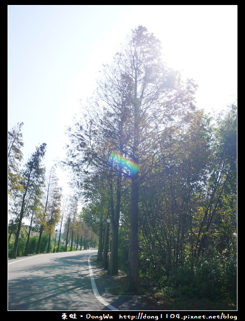 【桃園遊記】石園路560號旁。員樹林落羽松小徑