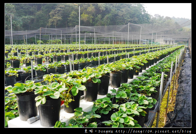 【南投遊記】埔里採草莓。玩莓高架草莓園