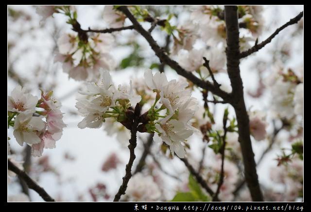 【中壢遊記】中壢櫻花 光明公園白色櫻花盛開中