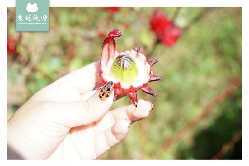 【台東農特產推薦】百大青農呂文宏 自然主義農園洛神花