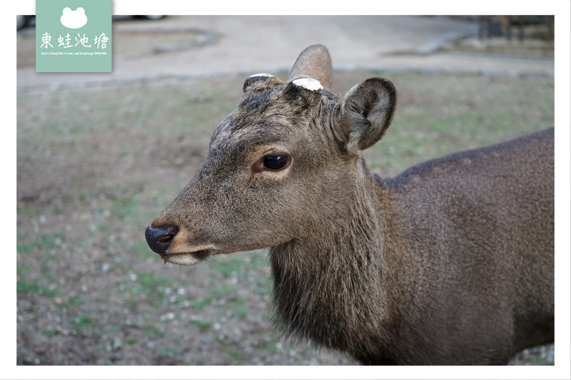 【奈良行程規劃推薦】奈良餵鹿趣 5大餵鹿守則 150日元鹿仙貝