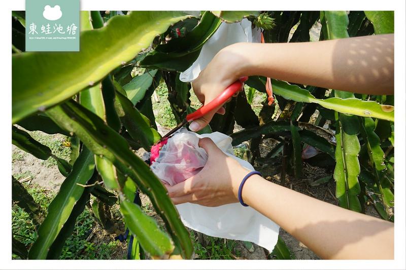 【桃園溪海半日遊行程推薦】親子採果樂體驗 火龍果吃到飽 一級棒農場