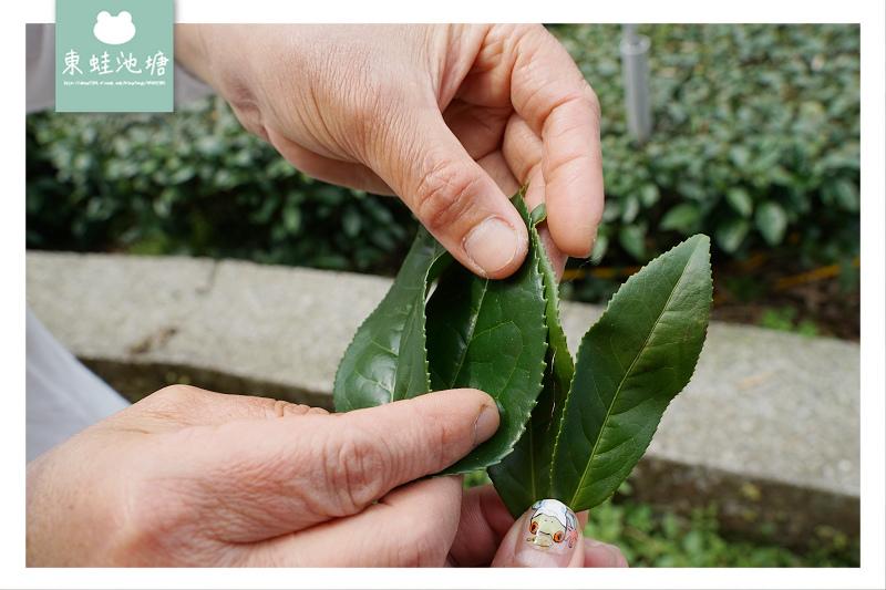 【嘉義梅山行程景點推薦】阿里山採茶揉茶製茶品茶體驗 瑞茗祥茶葉