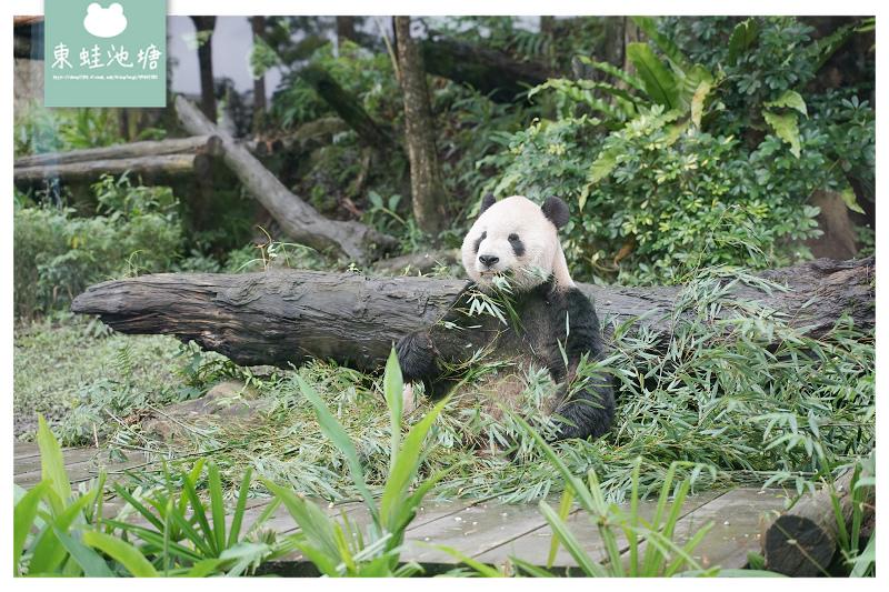 【台北動物園新亮點】超可愛「圓寶」角落生物即將亮相 貓茶町聯名熊貓寶寶餅乾