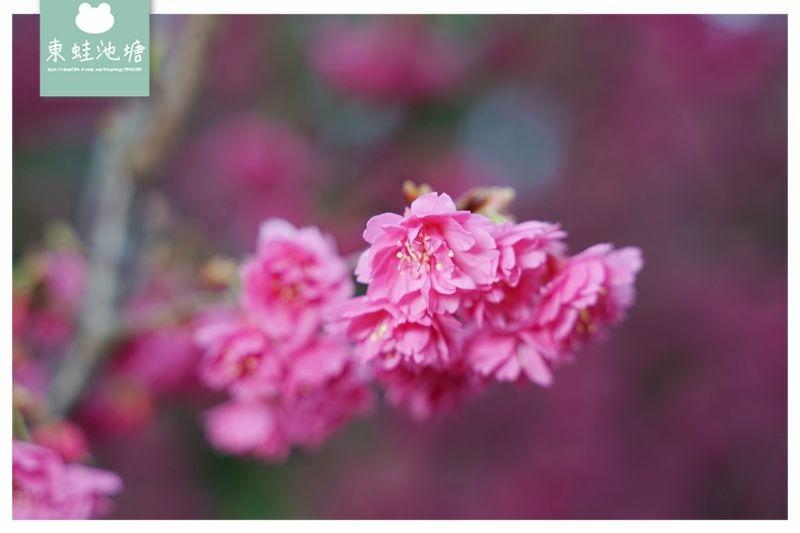 【2021北橫櫻花季開跑】拉拉山中巴陵櫻花大爆放 還有李花和桃花也超美 谷點咖啡民宿
