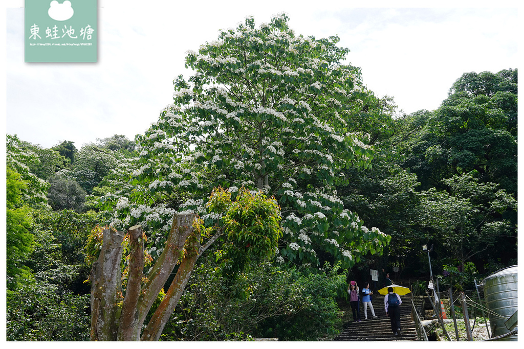 【桃園油桐花景點推薦】大溪賞桐花好去處 150年茄苳樹 十一指古道