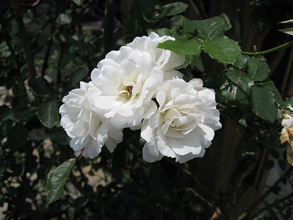 我是一朵小白花