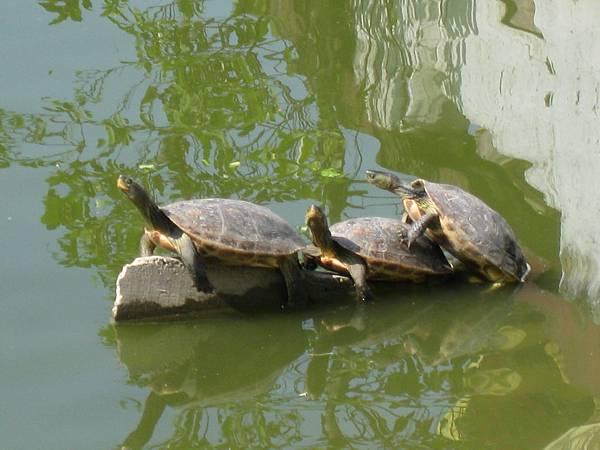 疊在一起曬太陽的烏龜