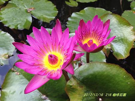 2012.12.16-三峽216 咖啡莊園-13