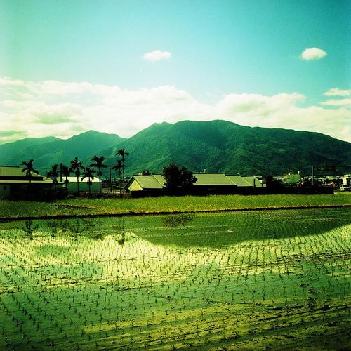 池上的稻田