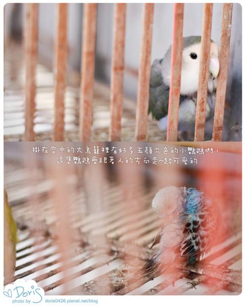 眷村迷路-鸚鵡.jpg