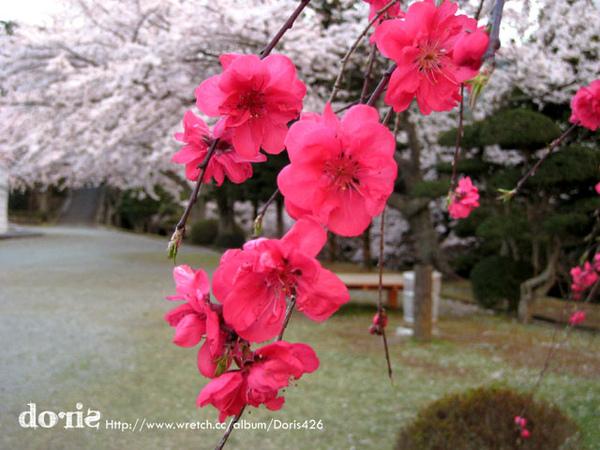 這也是櫻花