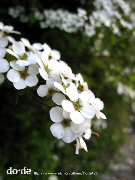 很漂亮的白色櫻花